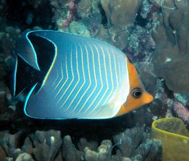 Chaetodon Faciatus - Red face butterfly fish