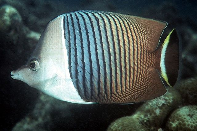 White face butterflyfish