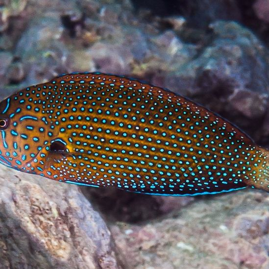 Blue Spotted Wrasse